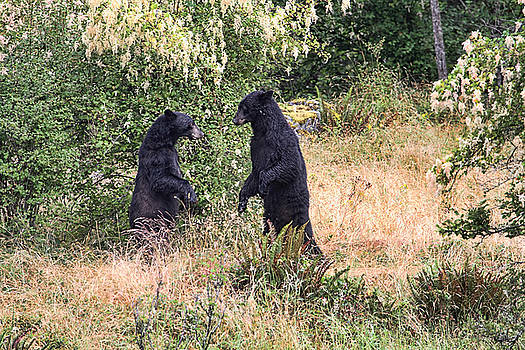 Peggy Collins - Black Bears Wrestling - Canadian Wildlife