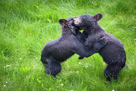 Wrestling Cubs by Tim Newton