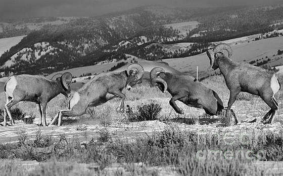 Adam Jewell - Wyoming Bighorn Brawlers Crop Black And White
