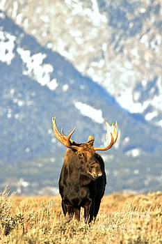 Adam Jewell - Wyoming Teton Moose