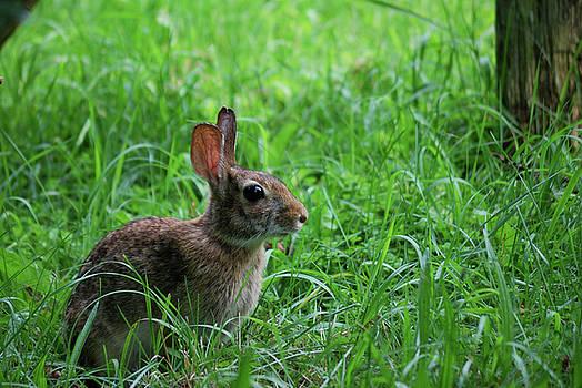 Yard Bunny by Randy Bodkins