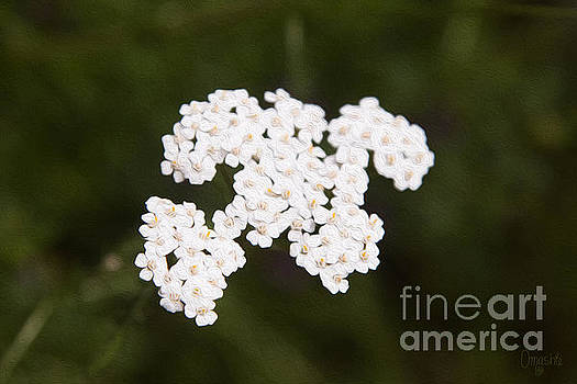 Omaste Witkowski - Yarro Yearning Methow Valley Flowers by Omashte