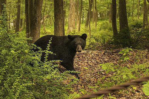 Yearling Black Bear by Jorge Perez - BlueBeardImagery