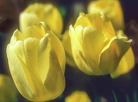 Yelllow Tulip by John Brink