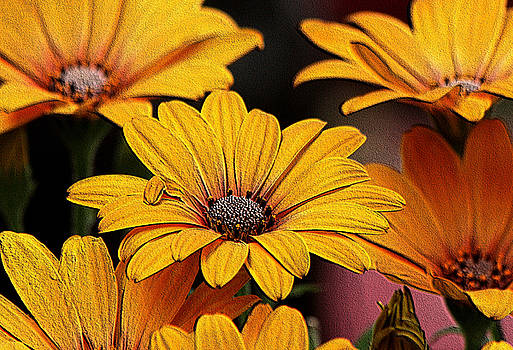Yellow African Daisies Embossed by Sheila Brown