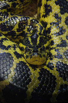 Yellow Anaconda by Ian  Benninghaus