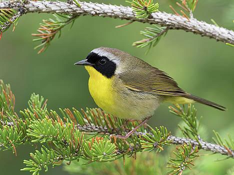 Yellow and Black Common Yellowthroat Songbird by Scott Leslie