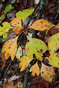 Yellow and green wet sassafras leaves in autumn by Natalie Schorr