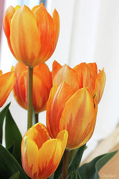 Yellow and Orange Striped Tulips by Trina Ansel