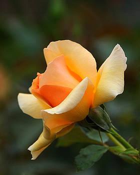 Edward Sobuta - Yellow and Peach Rose
