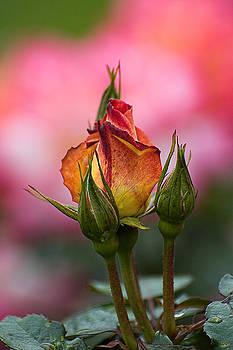 Edward Sobuta - Yellow and Pink Rose