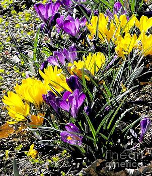 Yellow And Purple Crocuses by Annie Gibbons