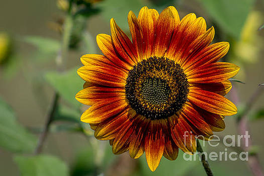 Yellow and Red Sunflower by Marj Dubeau