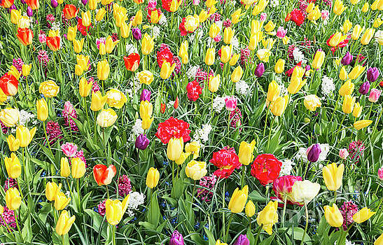Yellow And Red Tulips by Compuinfoto