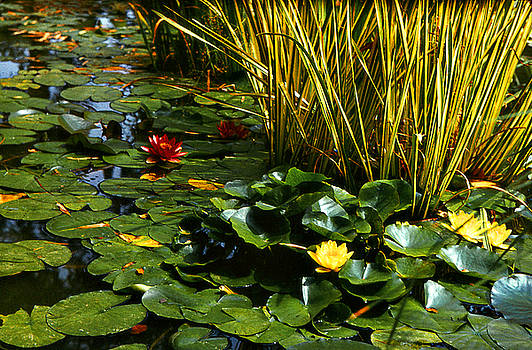 Yellow and Red Water Lilies in a Pond by Alexandra Cook