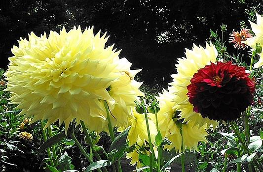 Canary Dahlias Have It by Suzanne McDonald