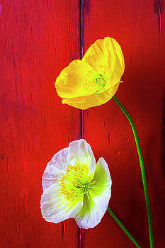 Yellow And White Poppies by Garry Gay