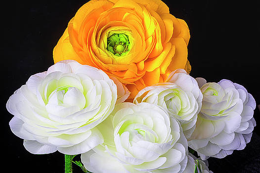 Yellow And White Ranunculus by Garry Gay