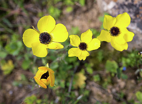 Michalakis Ppalis - Yellow anemone coronaria wild flower