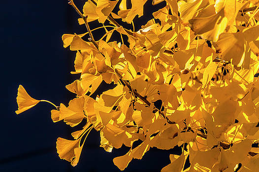 Yellow Autumn Ginkgo Tree by Garry Gay