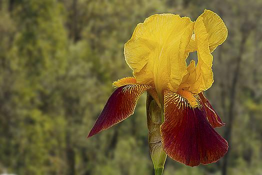 Yellow Bearded Iris by Emerald Studio Photography