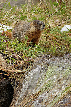 Yellow Bellied Marmot  At A Snow Melt Waterfall by Natural Focal Point Photography
