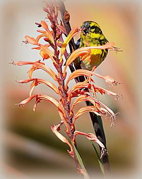 Yellow Bird Hi by AJ Schibig