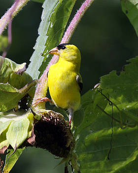Yellow Bird by Richard McRee