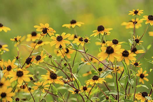 Yellow Black Eyed Susan Wildflowers In Summer by Carol Mellema