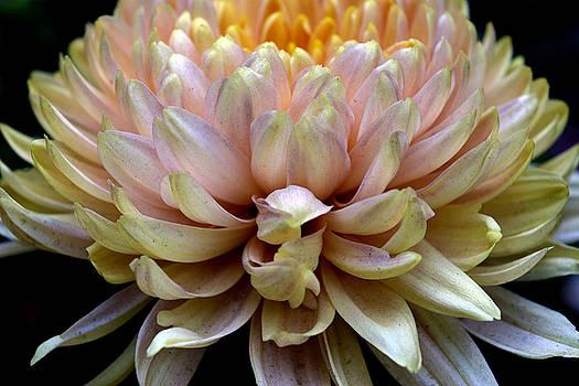 sumit mehndiratta - Yellow blossoms