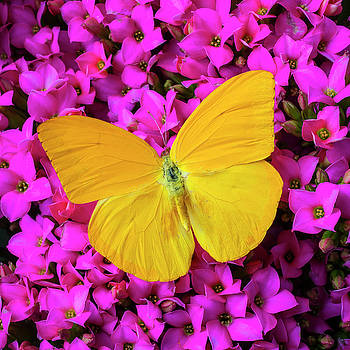 Yellow Butterfly On pink Kalanchoe by Garry Gay