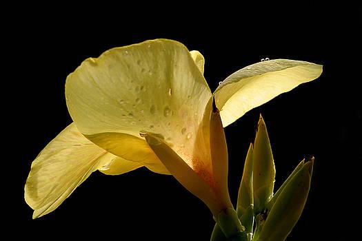 Jeannie Burleson - Yellow Canna
