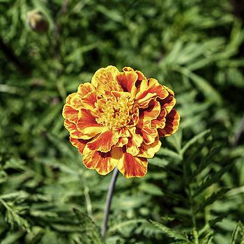 Yellow Carnation by Adrian Bud