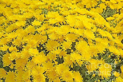 Regina Geoghan - Yellow Chrysanthemum Display