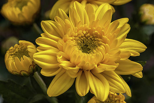 Yellow chrysanthemum flower by Tim Abeln