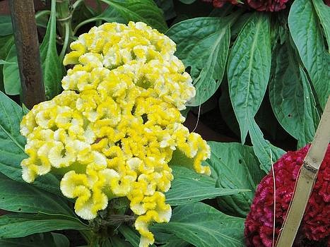 Usha Shantharam - Yellow Cockscomb