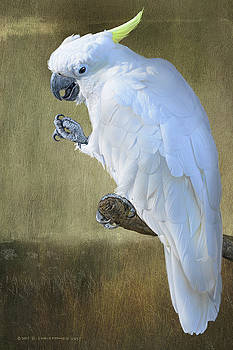Yellow Crested Cockatoo Portrait by R christopher Vest