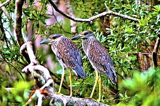 Yellow Crested Night Herons by James Potts