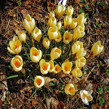 Dee Flouton - Yellow Crocuses