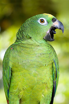 Aivar Mikko - Yellow-Crowned Amazon Parrot