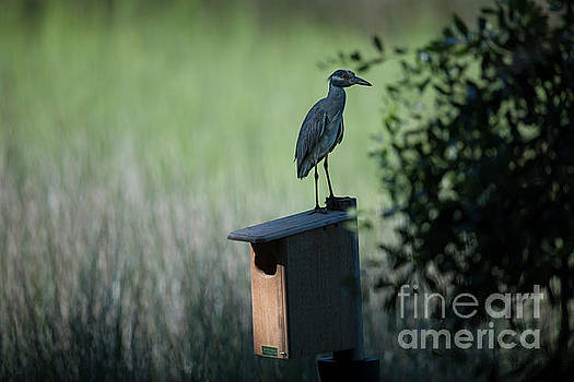 Dale Powell - Yellow Crowned Night Heron atop Duck House