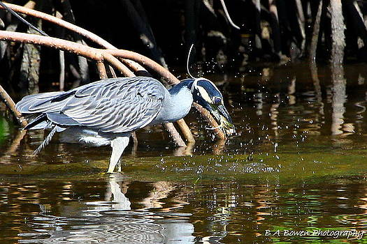 Barbara Bowen - Yellow Crowned Night Heron catches a Crab