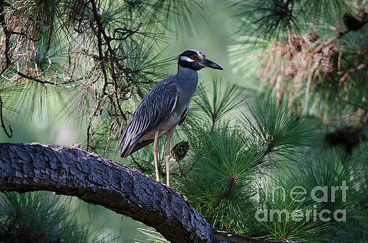 Dale Powell - Yellow Crowned Night Heron in Pine Tree