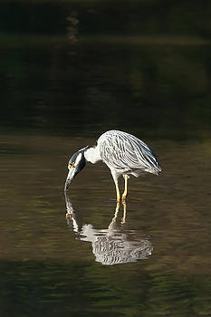 Paul Rebmann - Yellow Crowned Night Heron Kiss the Water #1