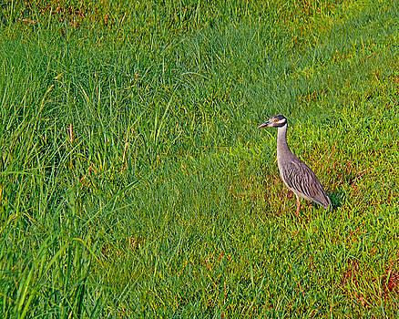 Yellow Crowned Night Heron by Robert Brown