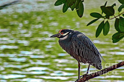 Yellow crowned night heron by Thomas Gibson