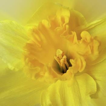 Yellow Daffodil by Marinela Feier