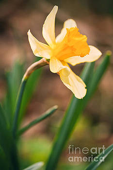 Yellow Daffodil by Sharon Dominick