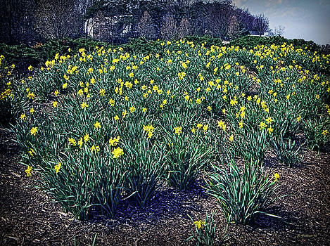 Yellow Daffodils by Brian Wallace
