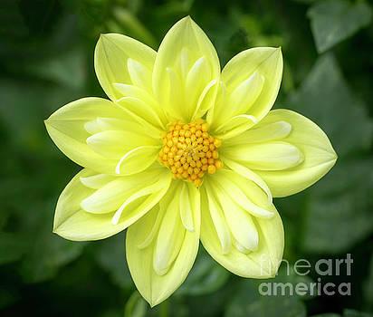 Yellow Dahlia by Cathy Donohoue
